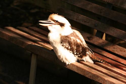 Throwback Friday: Kookaburra