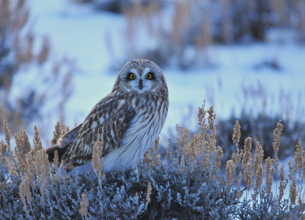 Short-Eared Owl on Seedskadee NWR