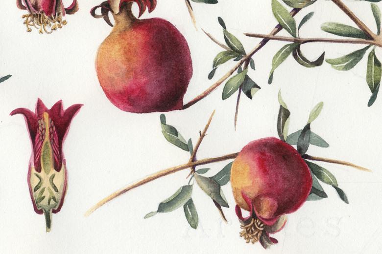Pomegranates_780_