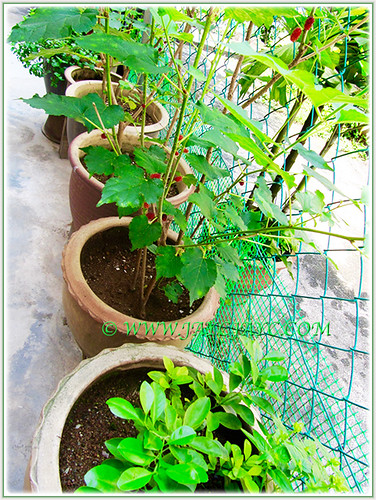 Our veggie garden at the backyard incl. Lime, Mulberry Bush, Mint Leaf, Pandan Leaf and Turmeric Leaf, Nov 5 2015