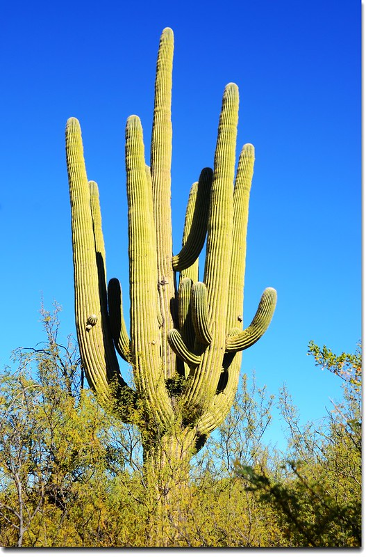 Saguaros growing on the Rincon Mountain District 9