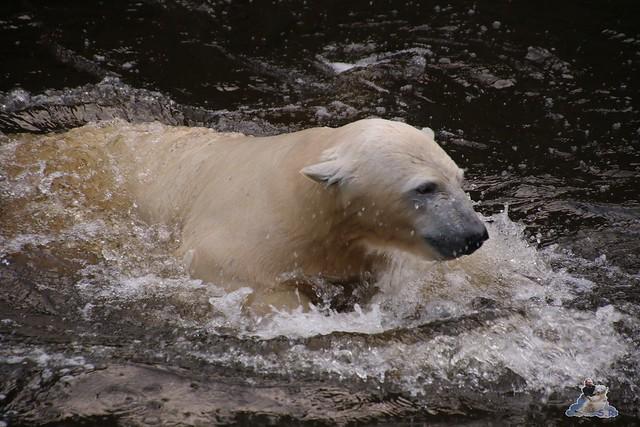 Eisbär Fiete im Zoo Rostock  07