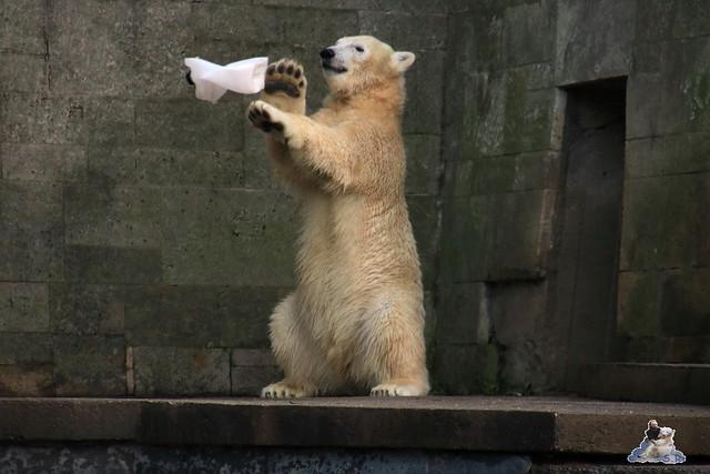 Eisbär Fiete im Zoo Rostock 13.12.2015  100