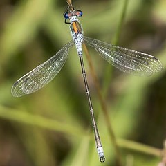 One of the few local #odonata species locally I hadn't managed a decent photo of until now the Emerald Damselfly photographed at @theparkstrust Howe Park Woods.  #odonataphotography #dragonfly #dragonflies #dragonflyporn #dragonflyphoto #dragonflyphotogra
