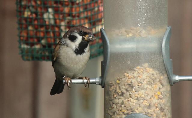 Tree Sparrow IMG_3501