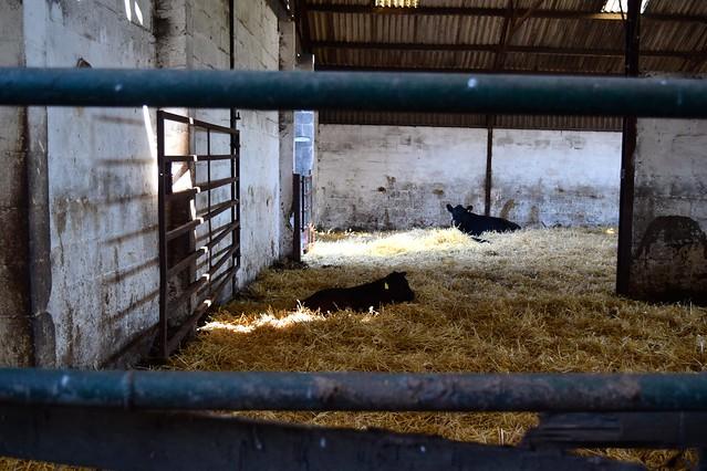 Aberdeen Angus Farm, Scotland | www.rachelphipps.com @rachelphipps