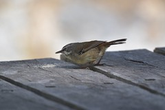 White - browed Scrubwren ( just checking on the mess )