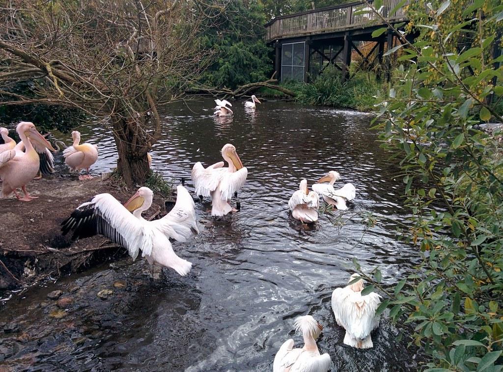 Ree Park Safari - lyserøde pelikaner