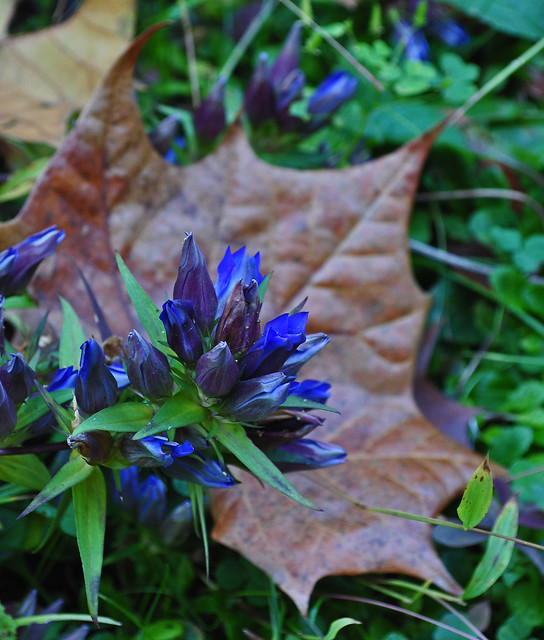 Gentiana (Willow Bed)