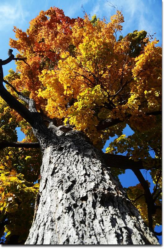 Sugar maple leaves (14)