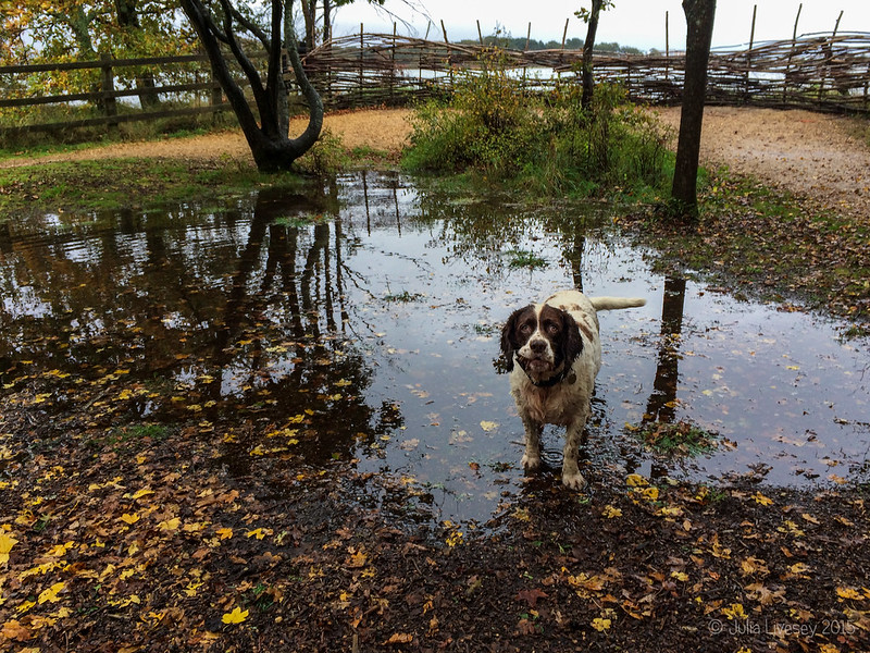 Max has found a new puddle
