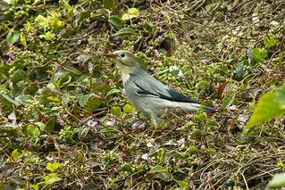 Red-billed Starling - Taiwan_S4E9914
