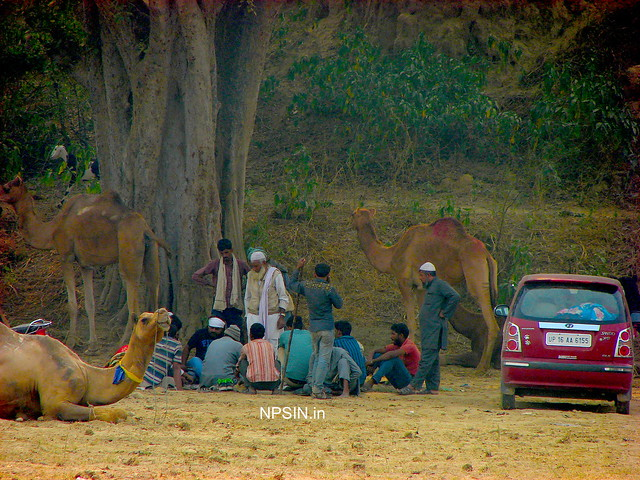 Animal Fair: Camel Fair: Final strategic discussion