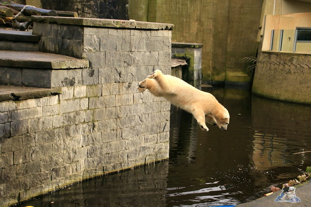 Eisbär Fiete im Zoo Rostock 12.12.2015   71