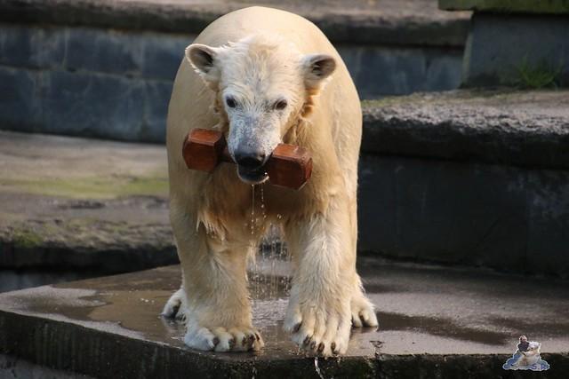 Eisbär Fiete im Zoo Rostock  057