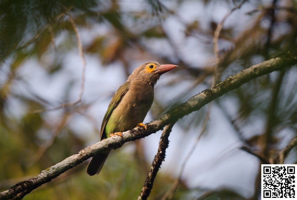 Brown-headed Barbet [Barbudo Cabecipardo]