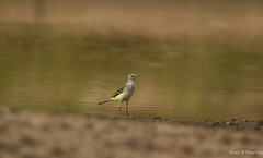 Yellow Wagtail, Senegal