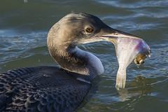 Great  Northern Diver - The Catch