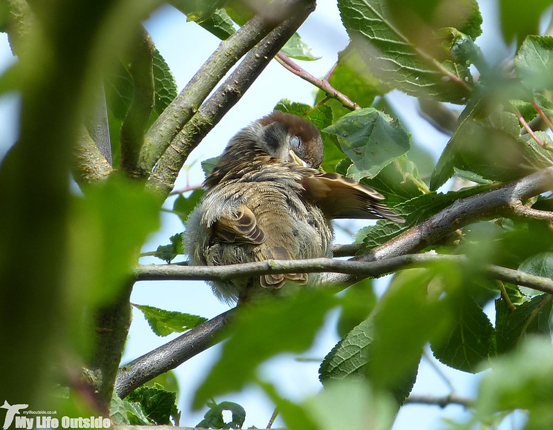 P1150114_2 - Tree Sparrow, Fairburn Ings
