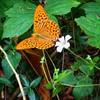 #big #butterfly @ilmotta87 ho avuto culo anche 'sto giro! :joy: #wild #valmadrera #iPhone5 #nofilter #fuoriceilsole #instapic #picoftheday #summer #sunnyday #details #fly #lecco #closeup #Brianza #nature #mountain