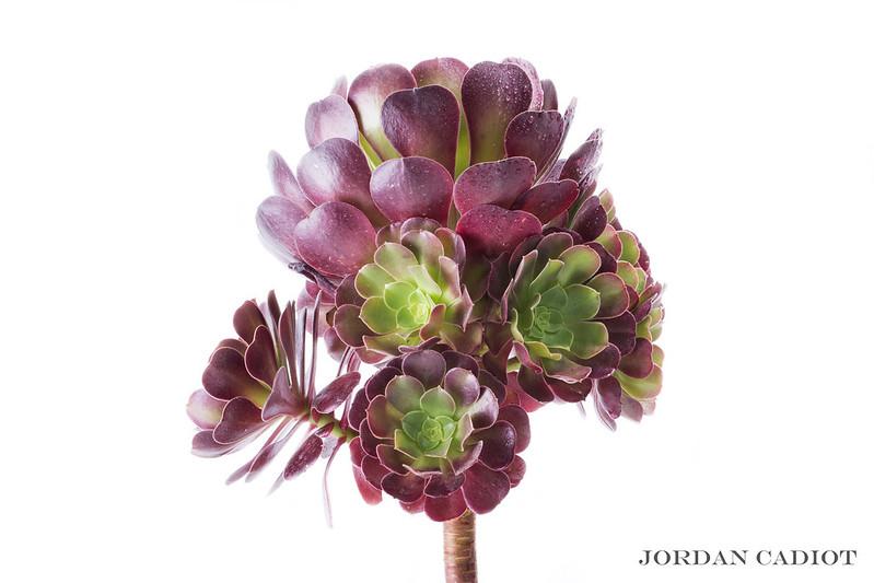 Sempervivum (joubarbe) et Aeonium arboreum  20662980261_eff6b0b328_c