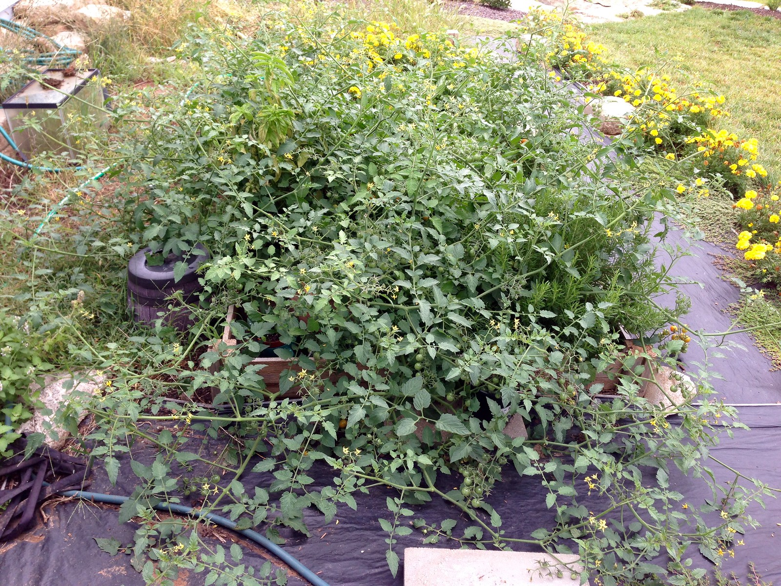 2015-08-30 morning . cherry tomato, taking over the kitchen garden
