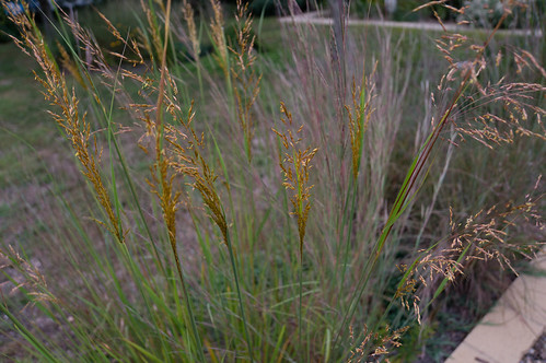 02145 Indian Grass