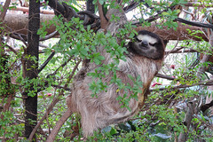 Dallas - Brown-throated Sloth