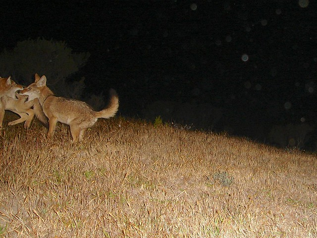 pair of juvie coyotes