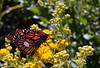 Two tag monarchs rest on goldenrod. by U.S. Fish and Wildlife Service - Midwest Region