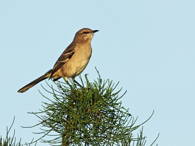 Northern Mockingbird 20150928
