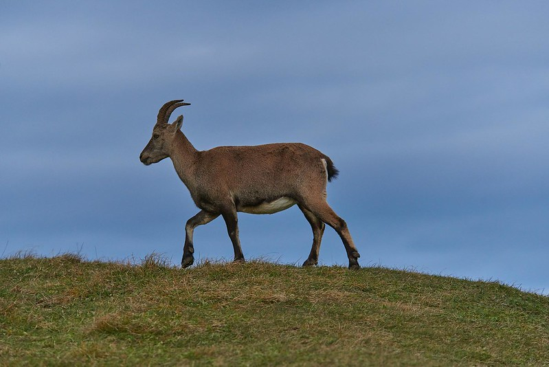 Alpine ibex - Creux du Van