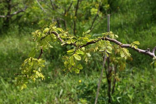 Robinia pseudoacacia - robinier faux acacia  21807693648_bff410dcb7