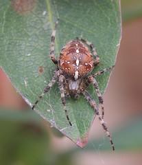 argiope(0.0), yellow garden spider(0.0), weevil(0.0), arthropod(1.0), animal(1.0), leaf(1.0), spider(1.0), araneus(1.0), invertebrate(1.0), insect(1.0), macro photography(1.0), european garden spider(1.0), fauna(1.0), close-up(1.0),