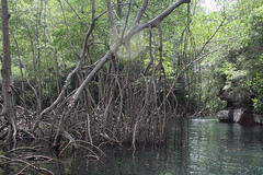 30 - Los Haitises national park - Entering the mangroves / Los Haitises Nationalpark - Einfahrt in die Mangroven