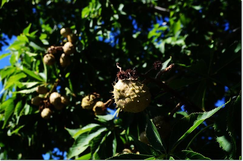Horse Chestnut(七葉樹)~果 3