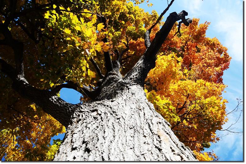 Sugar maple leaves (12)