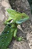 Jesus Christ Lizard by arthurpolly