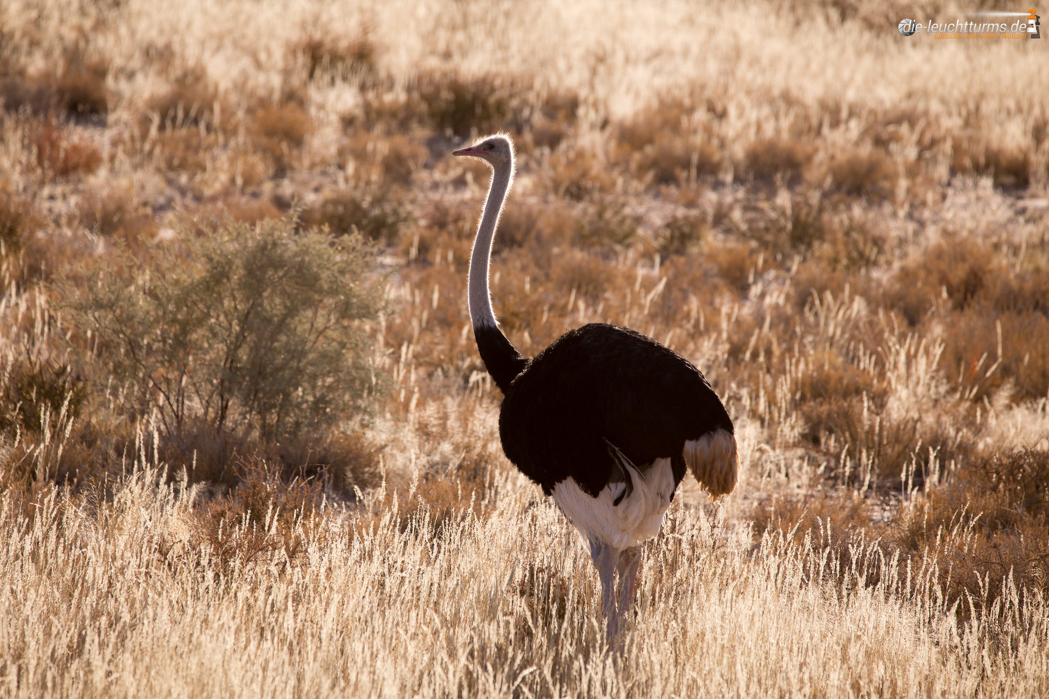 Common Ostrich, male
