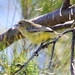 Small photo of Yellow Thornbil (Acanthiza nana)l