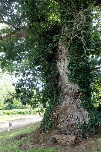 Old oak tree - Chêne remarquable (4/4)