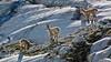 Alpine Ibex - Rhône Glacier - Wallis  - Switzerland [Explored #219] by Felina Photography