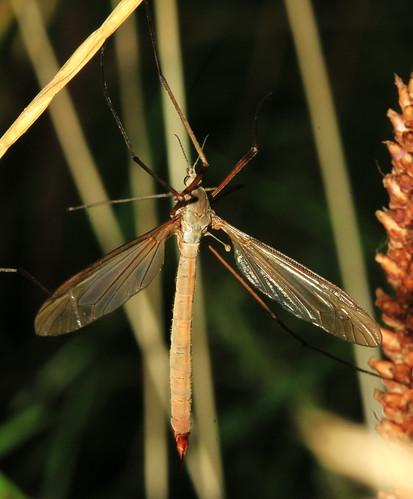 Cranefly 3911