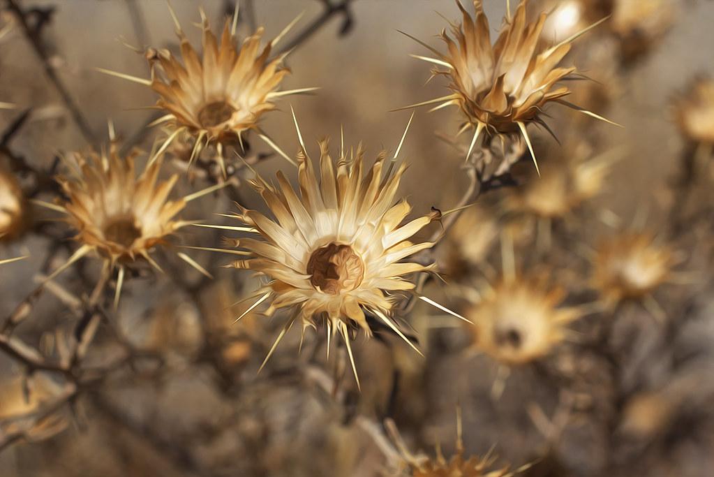 cápsula de la flor del cardo