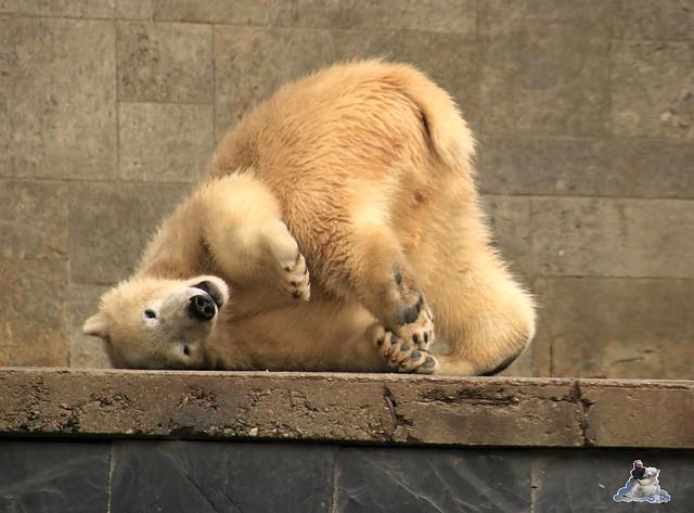 Eisbär Fiete im Zoo Rostock 19.09.2015 Teil 2  0112