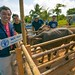 Receiving much-needed livestock support after Typhoon Haiyan - Philippines