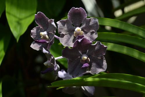 Orchid – Vanda Memoria Ericka Heuring