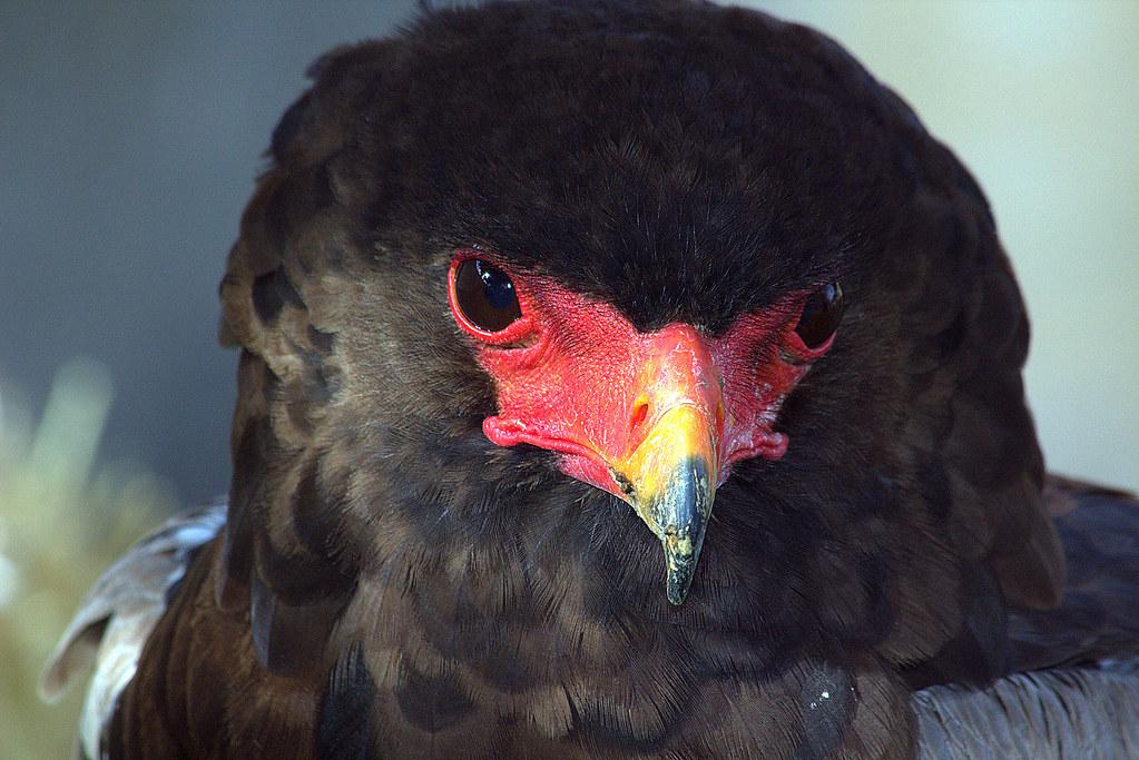 Terathopius ecaudatus o águila volatinera