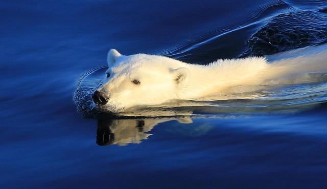 Polar Bear - Ursus maritimus  (Greenland) (90)