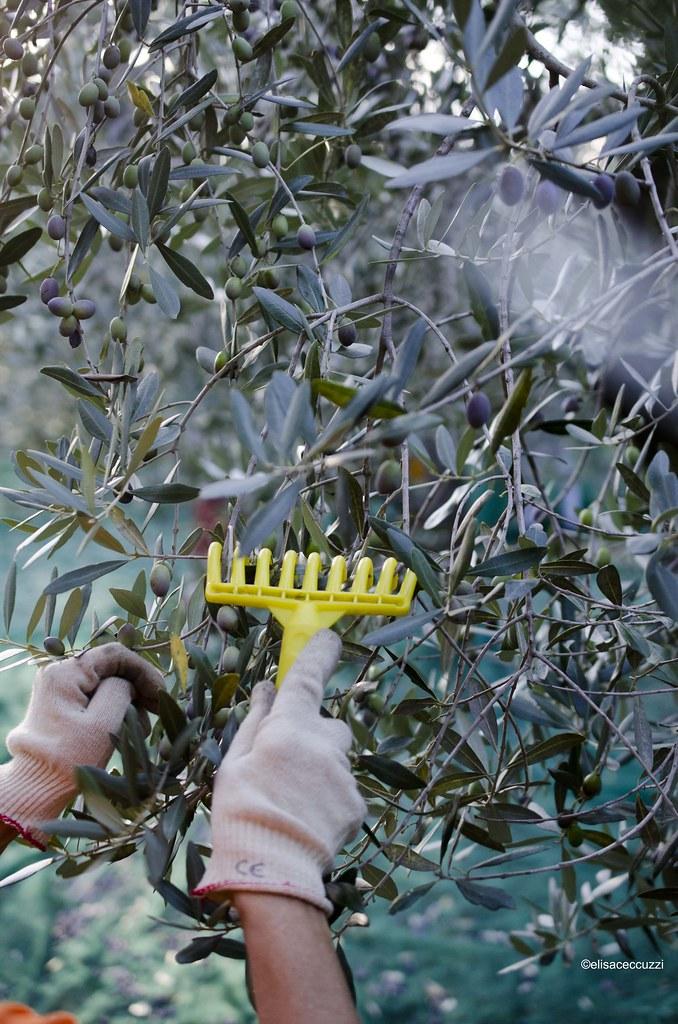 olive raccolta 2015_7391
